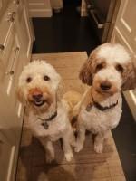 Dogcare/dog sitting for two Golden Doodles
