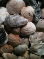 SMALL SEASHELLS (129 pieces) - $11 (Gainesville, FL)