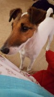 American Fox Terrier Needs a Home